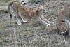 Older_Lion_Cubs_Elephant_Pepper_MaraNorth_2018_Kenya_0073