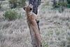 Older_Lion_Cubs_Elephant_Pepper_MaraNorth_2018_Kenya_0069