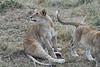 Older_Lion_Cubs_Elephant_Pepper_MaraNorth_2018_Kenya_0078