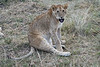 Older_Lion_Cubs_Elephant_Pepper_MaraNorth_2018_Kenya_0071