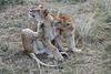 Older_Lion_Cubs_Elephant_Pepper_MaraNorth_2018_Kenya_0076