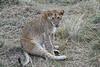 Older_Lion_Cubs_Elephant_Pepper_MaraNorth_2018_Kenya_0079
