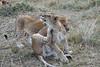 Older_Lion_Cubs_Elephant_Pepper_MaraNorth_2018_Kenya_0074