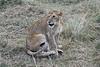 Older_Lion_Cubs_Elephant_Pepper_MaraNorth_2018_Kenya_0081