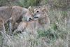 Older_Lion_Cubs_Elephant_Pepper_MaraNorth_2018_Kenya_0083