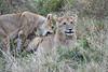 Older_Lion_Cubs_Elephant_Pepper_MaraNorth_2018_Kenya_0082