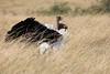 Ostrich_Rekero_Mara_Reserve_2018_Kenya_0014