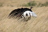 Ostrich_Rekero_Mara_Reserve_2018_Kenya_0012