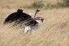 Ostrich_Rekero_Mara_Reserve_2018_Kenya_0016