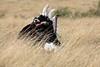 Ostrich_Rekero_Mara_Reserve_2018_Kenya_0004