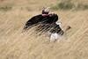Ostrich_Rekero_Mara_Reserve_2018_Kenya_0010