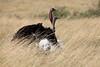 Ostrich_Rekero_Mara_Reserve_2018_Kenya_0019