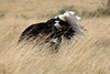 Ostrich_Rekero_Mara_Reserve_2018_Kenya_0007