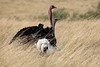 Ostrich_Rekero_Mara_Reserve_2018_Kenya_0020