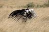 Ostrich_Rekero_Mara_Reserve_2018_Kenya_0006
