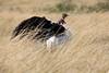 Ostrich_Rekero_Mara_Reserve_2018_Kenya_0013