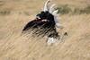 Ostrich_Rekero_Mara_Reserve_2018_Kenya_0009