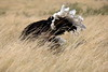 Ostrich_Rekero_Mara_Reserve_2018_Kenya_0011