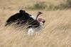 Ostrich_Rekero_Mara_Reserve_2018_Kenya_0018