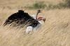 Ostrich_Rekero_Mara_Reserve_2018_Kenya_0015
