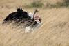 Ostrich_Rekero_Mara_Reserve_2018_Kenya_0017