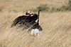 Ostrich_Rekero_Mara_Reserve_2018_Kenya_0005