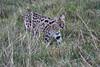 Serval_Marsh_Tangulia_Mara_Reserve_2018_Kenya_0023