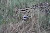Serval_Marsh_Tangulia_Mara_Reserve_2018_Kenya_0026