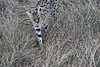 Serval_Marsh_Tangulia_Mara_Reserve_2018_Kenya_0037