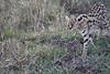 Serval_Marsh_Tangulia_Mara_Reserve_2018_Kenya_0002