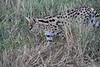 Serval_Marsh_Tangulia_Mara_Reserve_2018_Kenya_0028