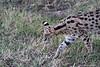 Serval_Marsh_Tangulia_Mara_Reserve_2018_Kenya_0015