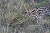 Serval_Marsh_Tangulia_Mara_Reserve_2018_Kenya_0005