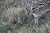 Serval_Marsh_Tangulia_Mara_Reserve_2018_Kenya_0010