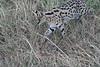 Serval_Marsh_Tangulia_Mara_Reserve_2018_Kenya_0032