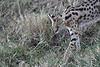 Serval_Marsh_Tangulia_Mara_Reserve_2018_Kenya_0011
