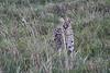 Serval_Marsh_Tangulia_Mara_Reserve_2018_Kenya_0018