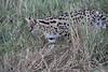 Serval_Marsh_Tangulia_Mara_Reserve_2018_Kenya_0029