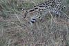 Serval_Marsh_Tangulia_Mara_Reserve_2018_Kenya_0033