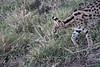 Serval_Marsh_Tangulia_Mara_Reserve_2018_Kenya_0013