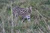 Serval_Marsh_Tangulia_Mara_Reserve_2018_Kenya_0025