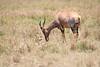 Topi_Birth_Babies_Tangulia_Mara_Reserve_2018_Kenya_0219