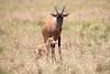 Topi_Birth_Babies_Tangulia_Mara_Reserve_2018_Kenya_0223