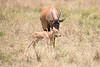 Topi_Birth_Babies_Tangulia_Mara_Reserve_2018_Kenya_0220