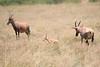 Topi_Birth_Babies_Tangulia_Mara_Reserve_2018_Kenya_0243