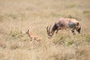 Topi_Birth_Babies_Tangulia_Mara_Reserve_2018_Kenya_0241