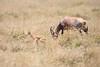 Topi_Birth_Babies_Tangulia_Mara_Reserve_2018_Kenya_0242