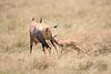 Topi_Birth_Babies_Tangulia_Mara_Reserve_2018_Kenya_0228