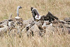 White Backed Vulture0087