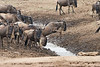 Wildebeest_Mini_Crossing_Rekero_Mara_Reserve_2018_Kenya_0127